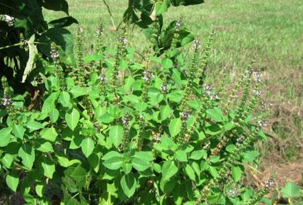 तुलसी के पौधे के पास केले का पेड़ लगाने से, घर में नहीं होगी धन की कमी